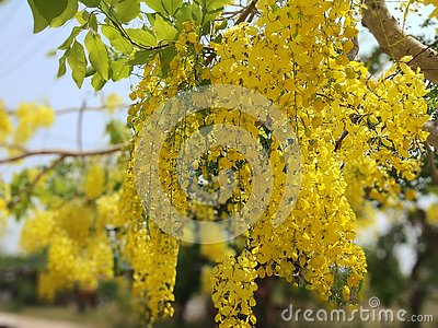 Cassia fistula, beautiful yellow, can be used as a background image Stock Photo