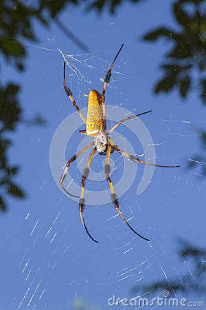 Free Golden Silk Orb Weaver, Or Banana Spider (Nephila Clavipes) In The Web Royalty Free Stock Images - 45144209