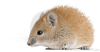 Golden Spiny Mouse, Acomys russatus, 1 year old