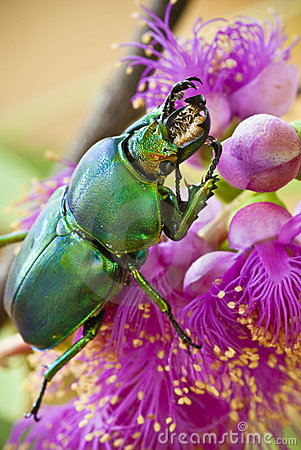 Golden Stag Beetle on pink Callistemon flower
