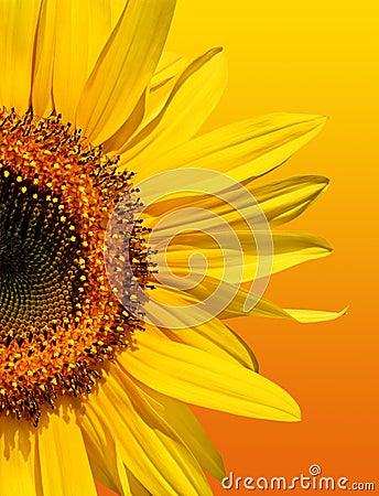 Free Golden Sunflower Beauty Royalty Free Stock Photo - 2312725