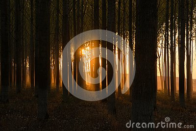 Dark, mystic forest with golden sunset behind the trees Stock Photo