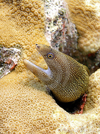 Free Golden Tail Moray Eel Stock Image - 11159771