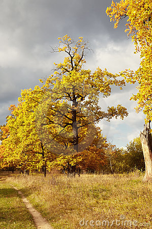 Golden tree of an oak in the autumn
