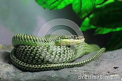 Royalty Free Stock Photography: Golden Tree Snake. Imag