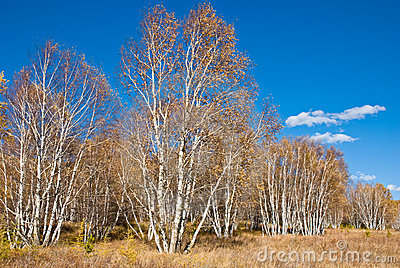 Golden trees and grasses under blue sky