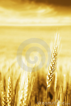 Free Golden Wheat Royalty Free Stock Image - 2657746