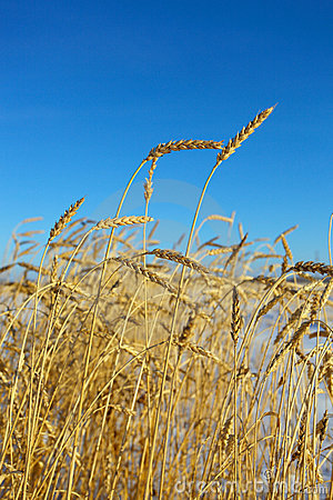 Golden wheat against a clear blue sky.