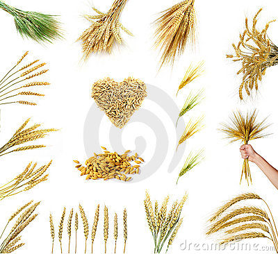 Golden wheat ears  isolated on white background