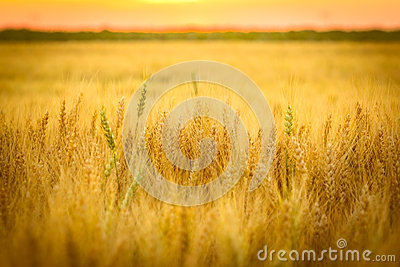 Golden Wheat Field Stock Photo - Image: 25381430