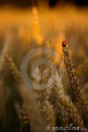 Free Golden Wheat Field Royalty Free Stock Photography - 2541217