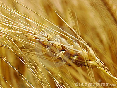 Royalty Free Stock Photos Free Download An golden crop wheat field