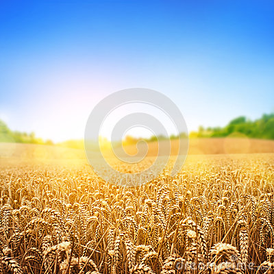 Free Golden Wheat Field Stock Photo - 30318450