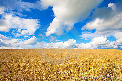 Golden wheat field against blue sky