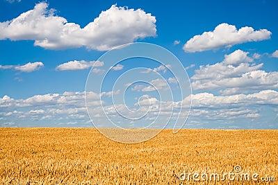 Golden wheat field below blue