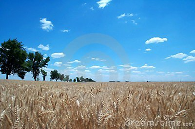 Golden wheat fields 1 Stock Photo