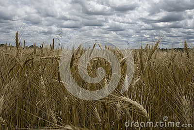 Golden wheat fields Stock Photo