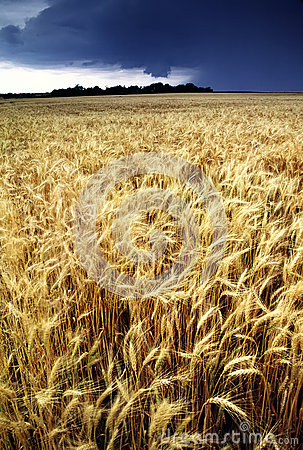 Golden Wheat Harvest threatened by Summer Thunderstorm