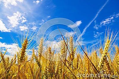 Golden wheat plant meadow under a blue vivid sky