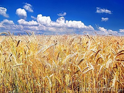 Golden Wheat and Sky in background