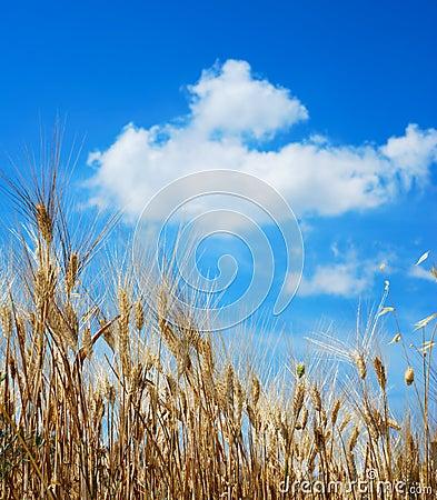 Golden wheat stems