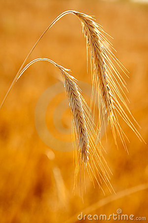 Golden wheat two spikes of ripe cereal