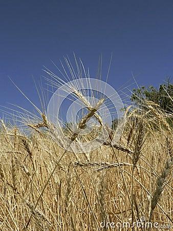 Free Golden Wheaties Stock Photo - 344130