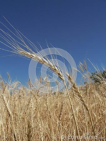 Free Golden Wheaties Stock Photos - 344133