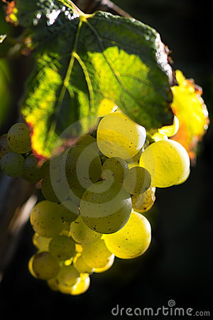 Golden wine grapes