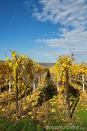 Golden wineyard