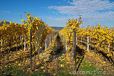 Golden wineyards