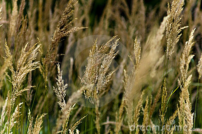Golden Winter Wheat in the Wind
