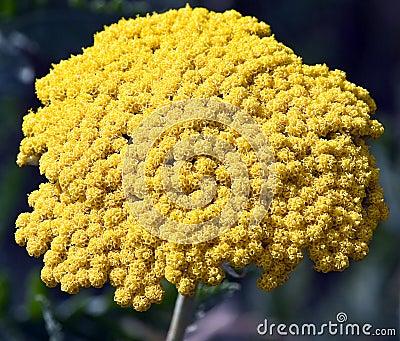 Yellow flower in bloom