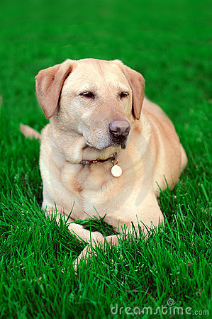 Golden Yellow Labrador Dog On Grass