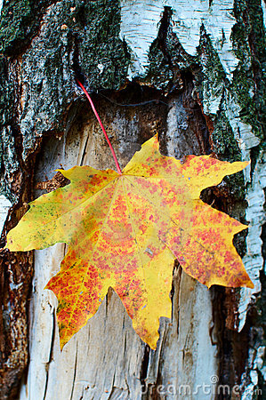 Golden-yellow maple leaf on bark of birch tree .