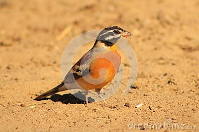 Goldenbreasted Bunting - African Gold