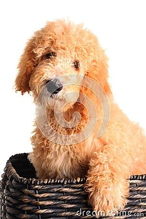 miniature goldendoodle puppies for sale. makeup ohio mini goldendoodle
