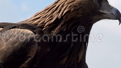 Goldener Eagle Spread seine Flügel stock video