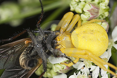 Goldenrod crab spider feasting on fly
