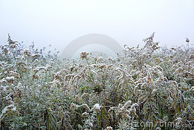 Goldenrod with Frost