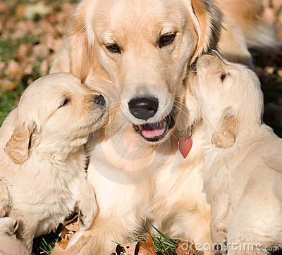 Royalty Free Stock Photo: Golder retriever puppies with mother