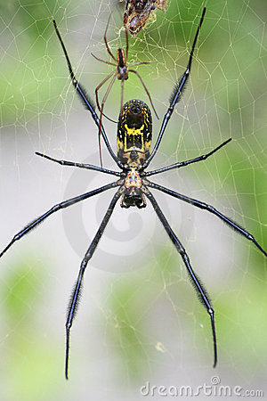 Free Goldern Orb Web Spider Stock Images - 4602394