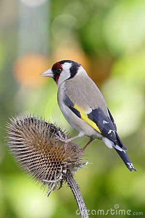 Free Goldfinch Royalty Free Stock Photo - 2515685