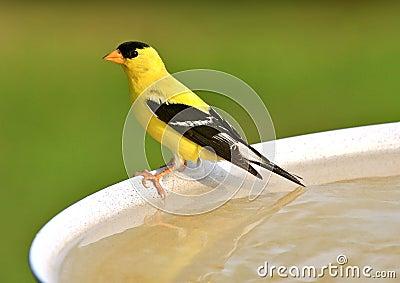 Goldfinch américain