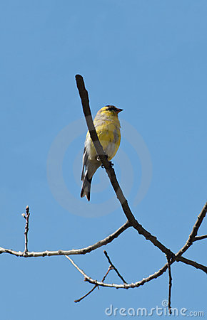 Goldfinch américain mâle