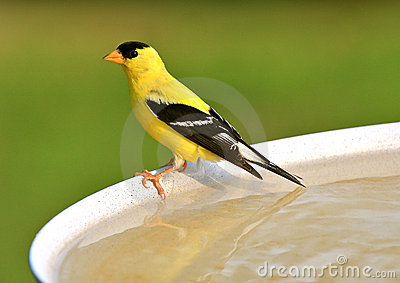 Goldfinch americano