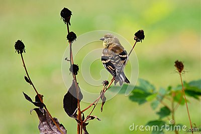 Goldfinch americano en plumaje cambiante