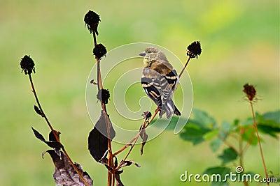 Goldfinch americano na plumagem em mudança
