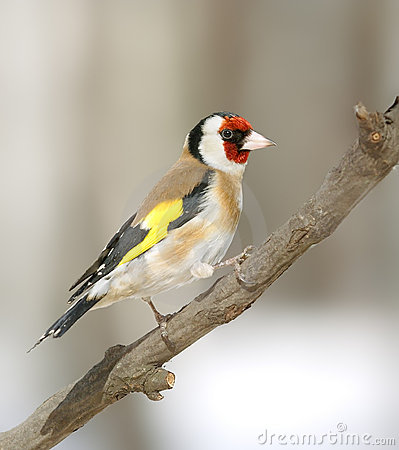 Goldfinch at the branch