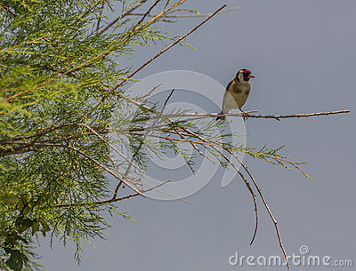 Goldfinch on a bush